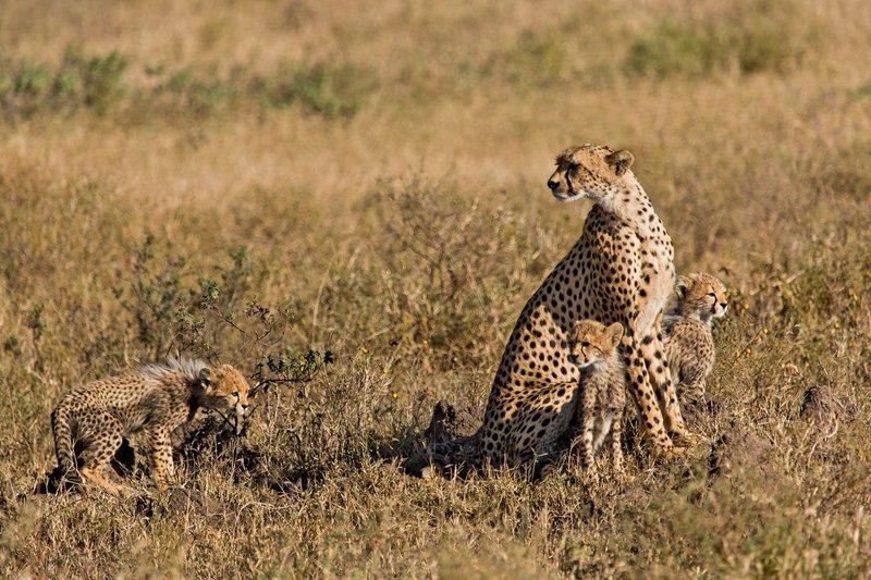 large_Cheetah_8-99.jpg