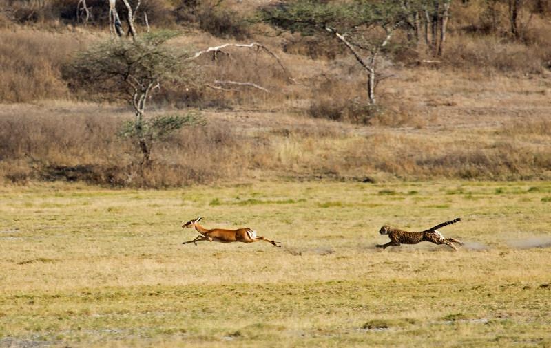 large_Cheetah_CF_10.jpg