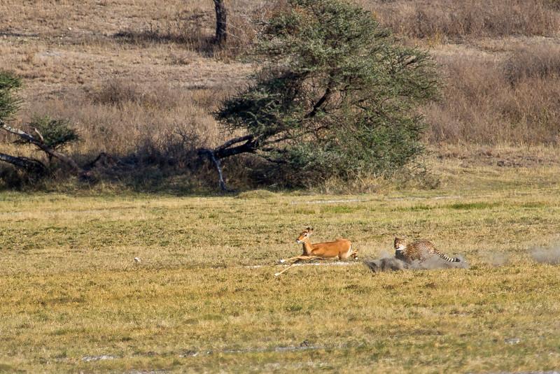 large_Cheetah_CF_11.jpg