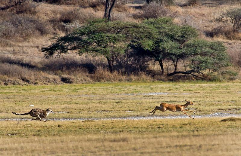 large_Cheetah_CF_14.jpg