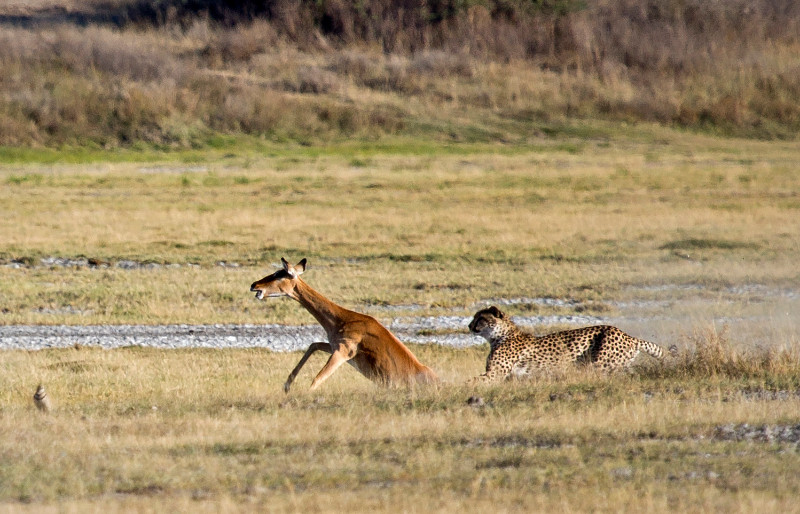 large_Cheetah_CF_17.jpg