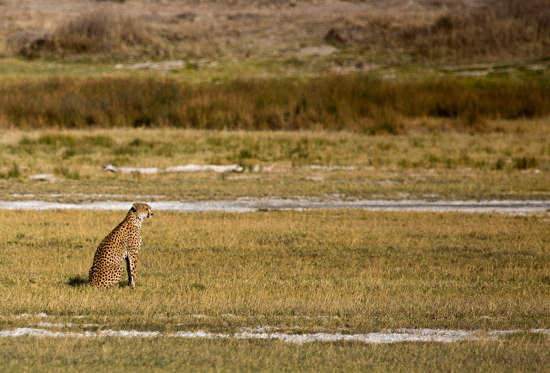 large_Cheetah_CF_2.jpg