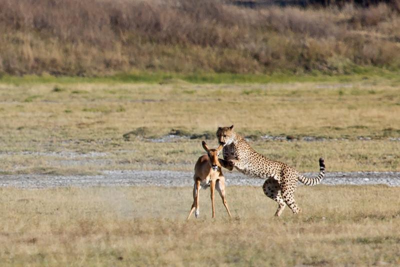 large_Cheetah_CF_21.jpg