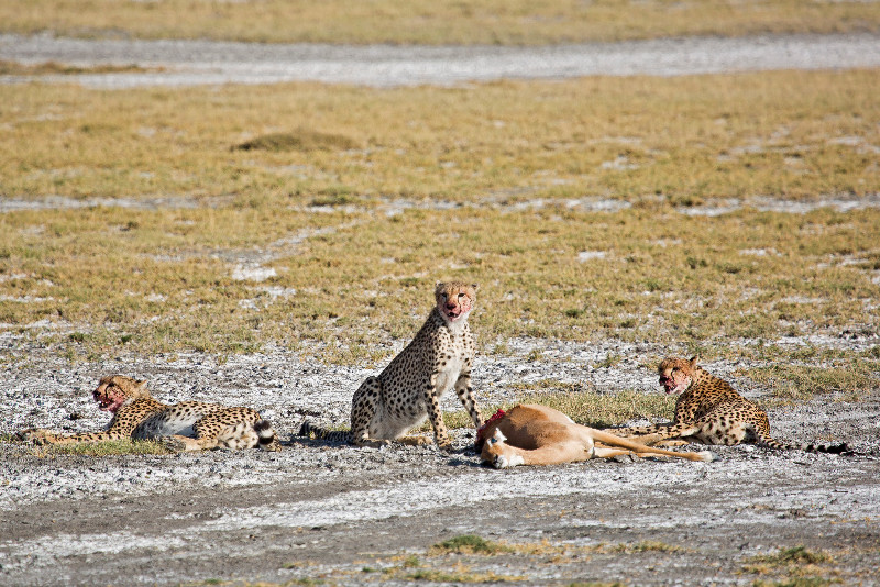 large_Cheetah_CF_30.jpg