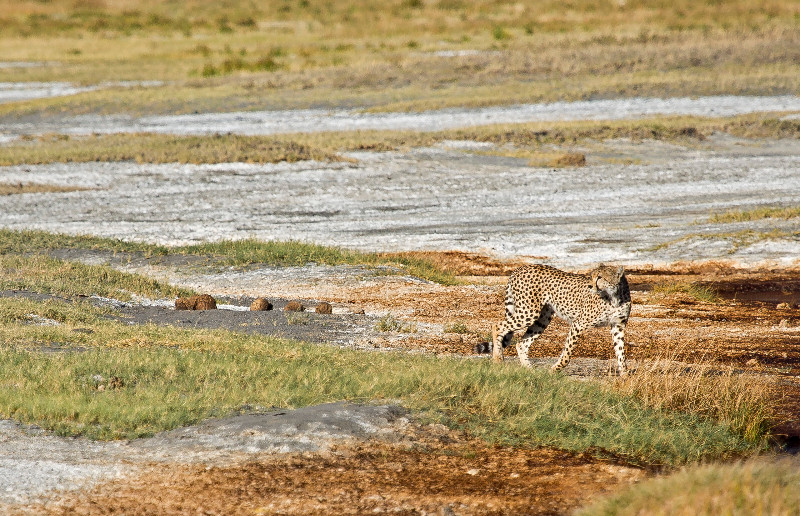 large_Cheetah_CF_4.jpg