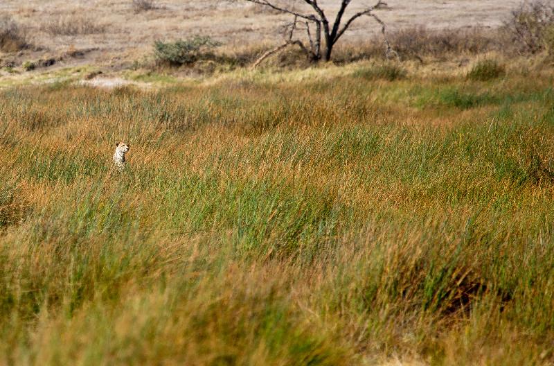 large_Cheetah_Hi..n_the_Grass.jpg