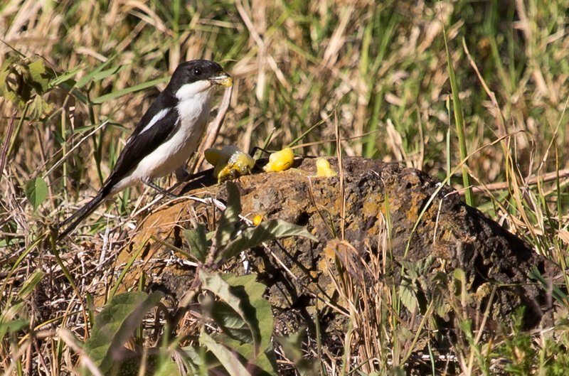 large_Common_Fiscal_Shrike_32.jpg