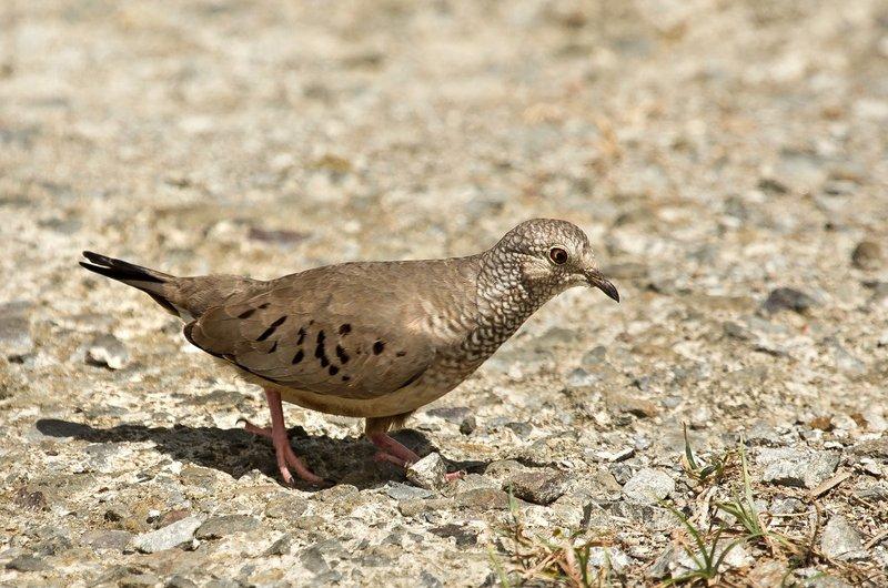 large_Common_Ground_Dove_3.jpg