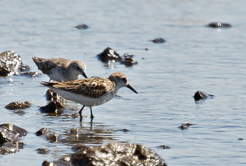 large_Common_Sandpiper_3.jpg