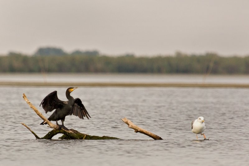 large_Cormorant_and_Seagull_2.jpg
