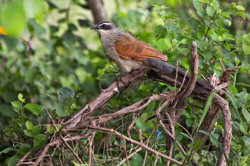 large_Coucal__White_Browed_11-2.jpg