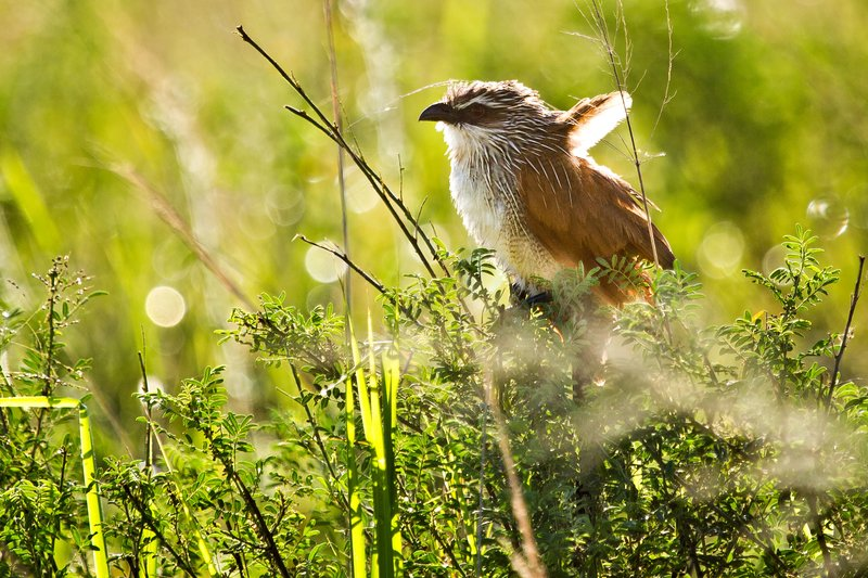 large_Coucal__White_Browed_12-1.jpg