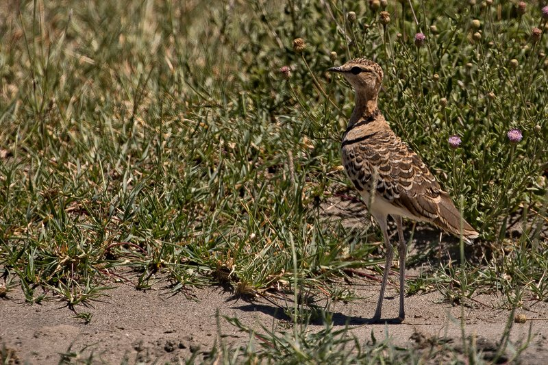 large_Courser__Two_Banded_22.jpg
