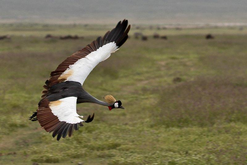 large_Crane__Gre..ed_Flying_2.jpg