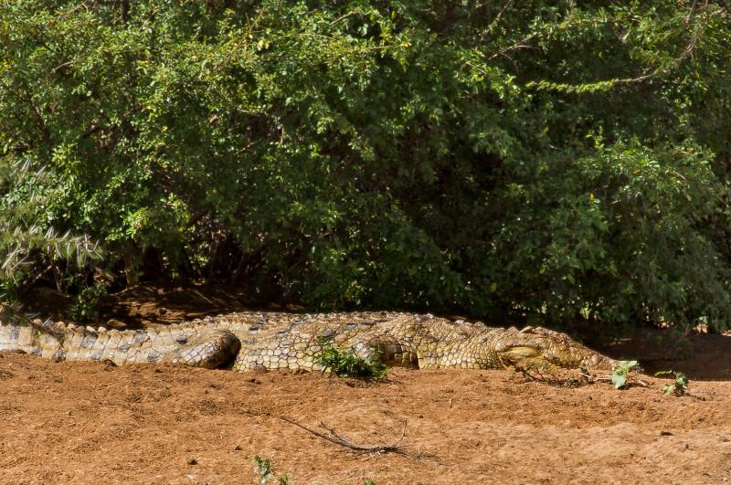 large_Crocodile_73.jpg