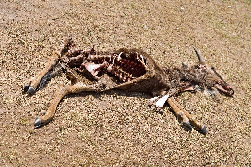 large_Dead_Baby_Wildebeest_1.jpg