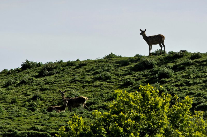 large_Deer_1.jpg