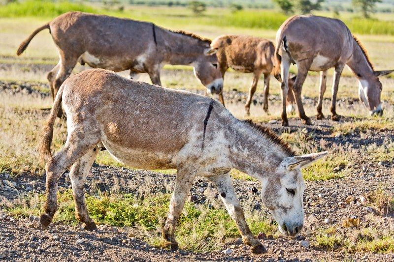 large_Donkeys__Albino__6-1.jpg