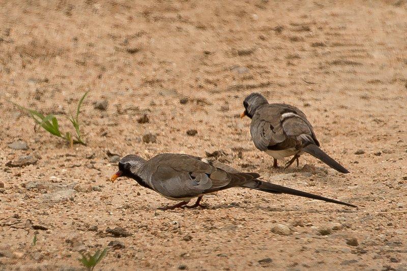 large_Dove__Namaqua_2.jpg
