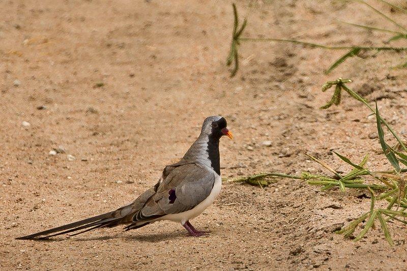 large_Dove__Namaqua_21.jpg