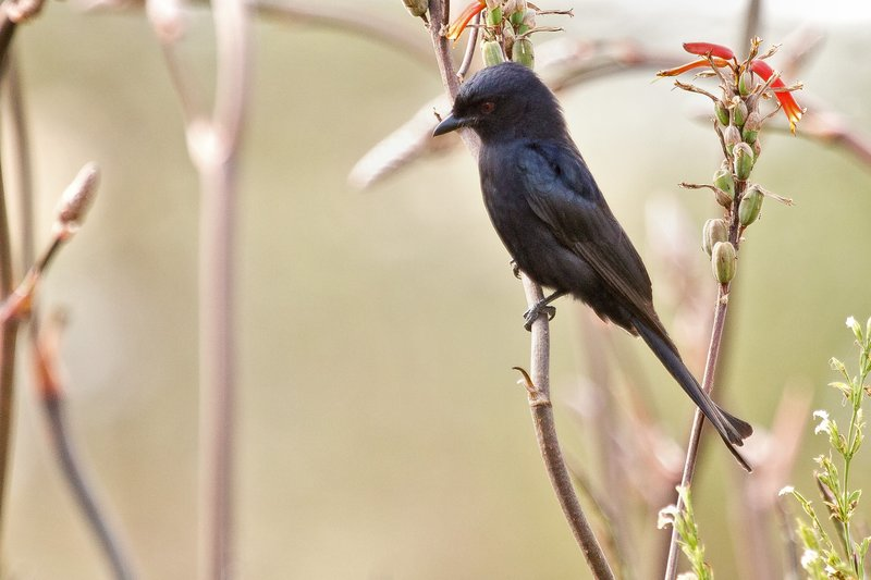 large_Drongo__Common_8-1.jpg