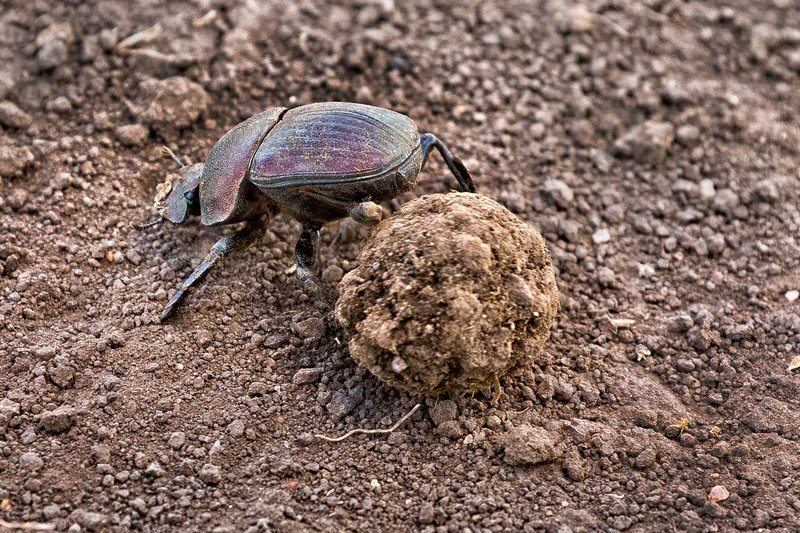 large_Dung_Beetle_1.jpg
