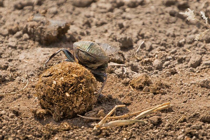 large_Dung_Beetle_4.jpg
