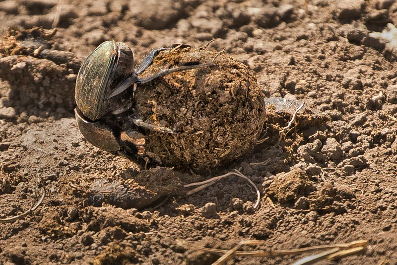 large_Dung_Beetle_7.jpg