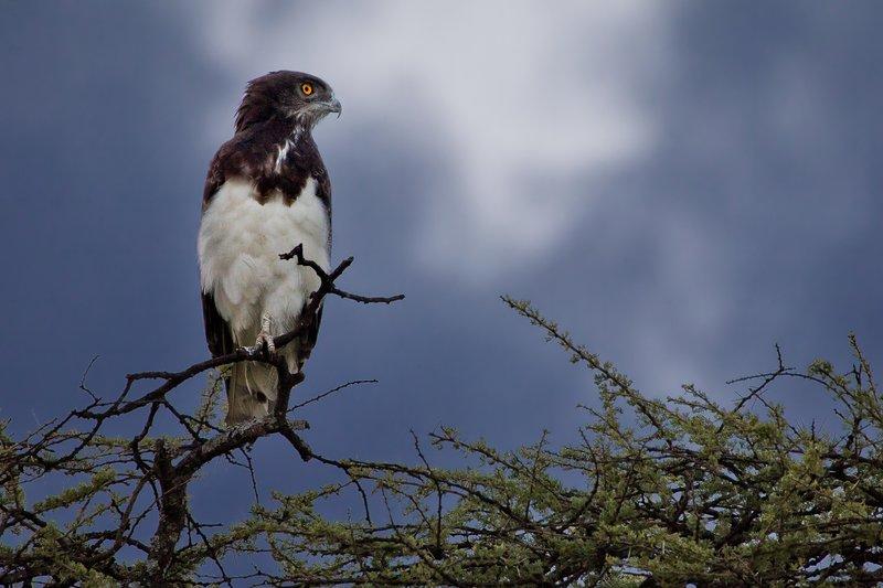 large_Eagle__Bla..ted_Snake_1.jpg