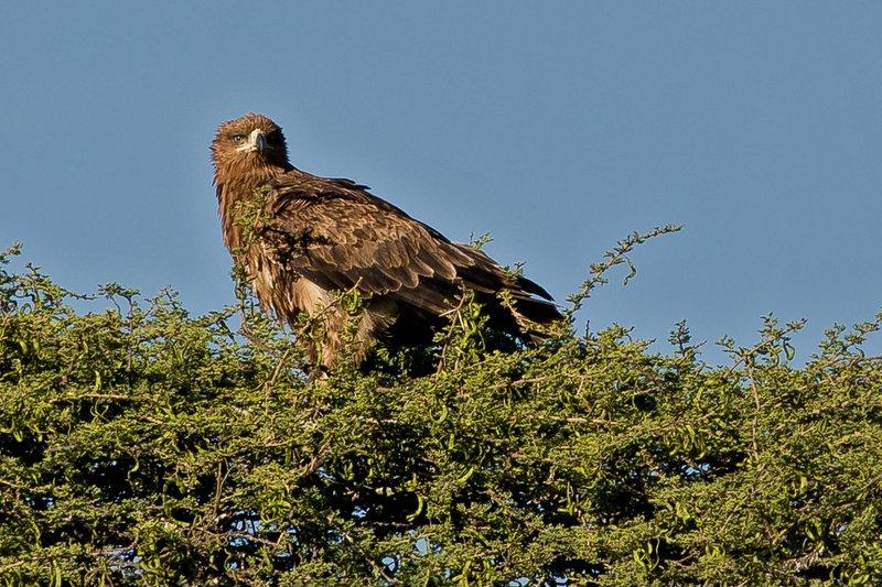 large_Eagle__Brown_Snake_11.jpg