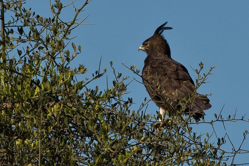 large_Eagle__Long_Crested.jpg