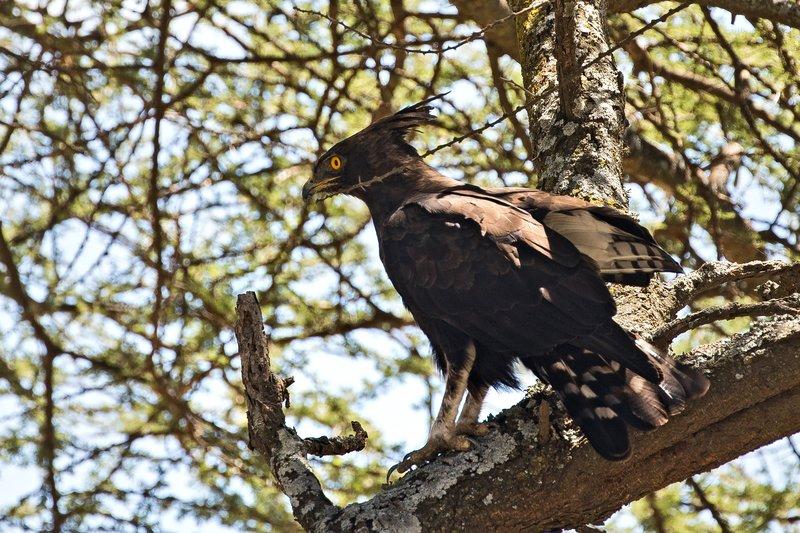 large_Eagle__Long_Crested_101.jpg