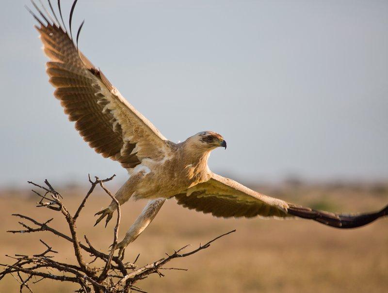 large_Eagle__Pale_Tawny_8-3.jpg