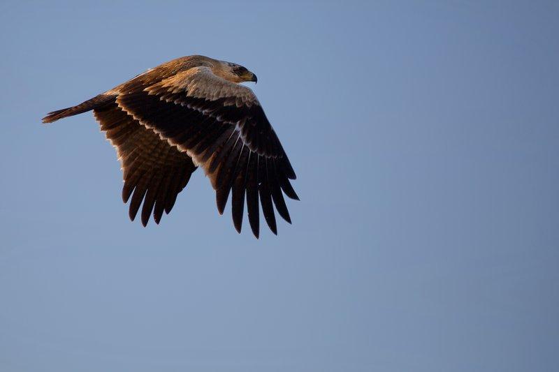 large_Eagle__Pale_Tawny_8-4.jpg