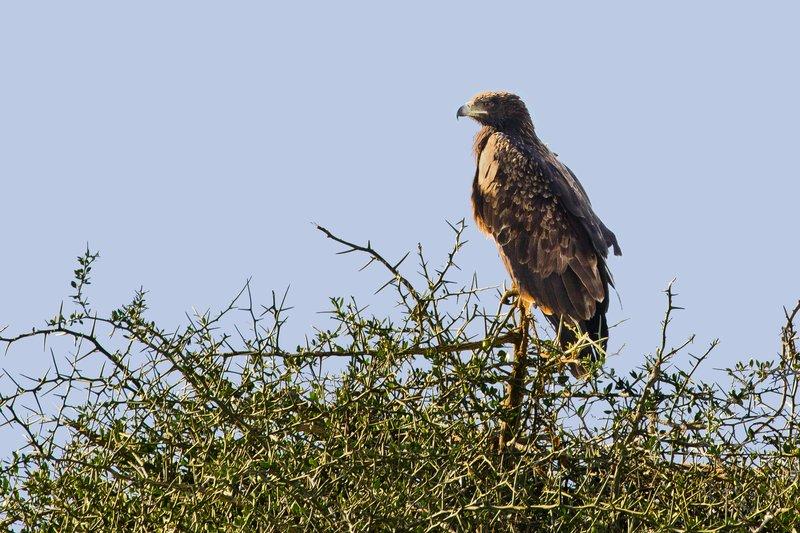 large_Eagle__Steppe_201.jpg