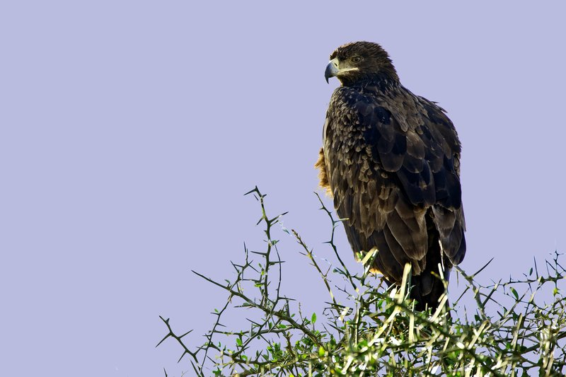 large_Eagle__Steppe_202.jpg