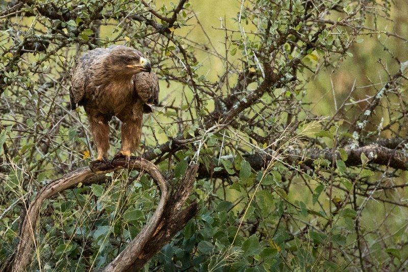 large_Eagle__Tawny_101.jpg
