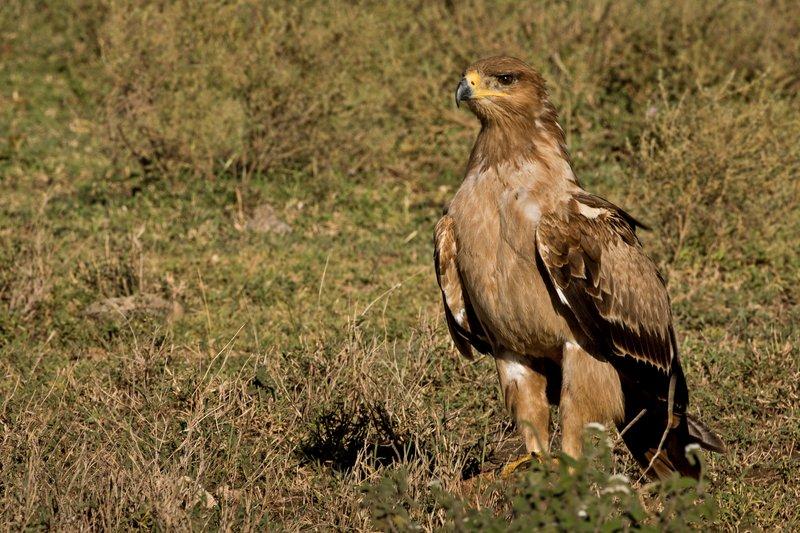 large_Eagle__Tawny_601.jpg