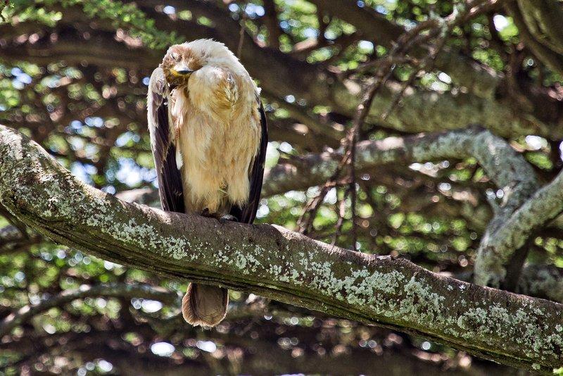 large_Eagle__Tawny_9-12.jpg
