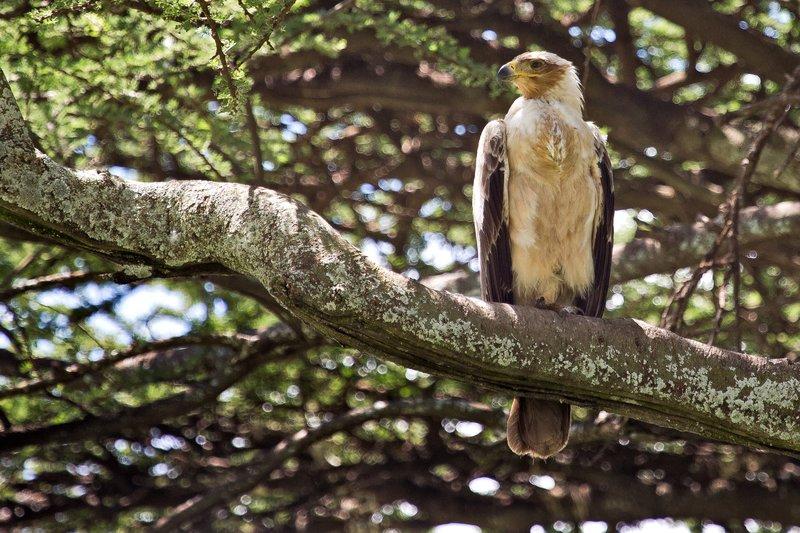 large_Eagle__Tawny_9-14.jpg
