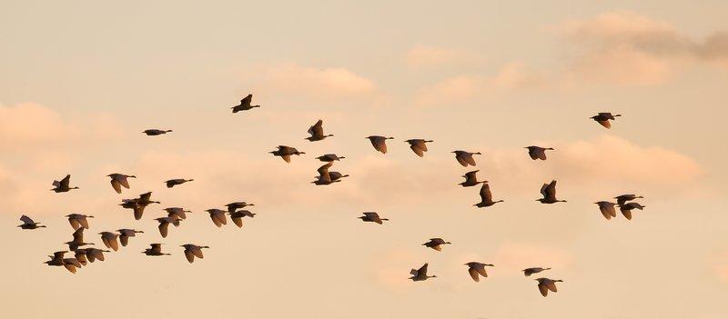 large_Egrets_Flying_5-2.jpg