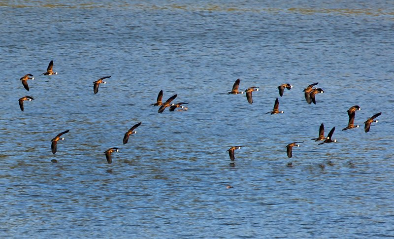 large_Egyptian_Geese_4.jpg