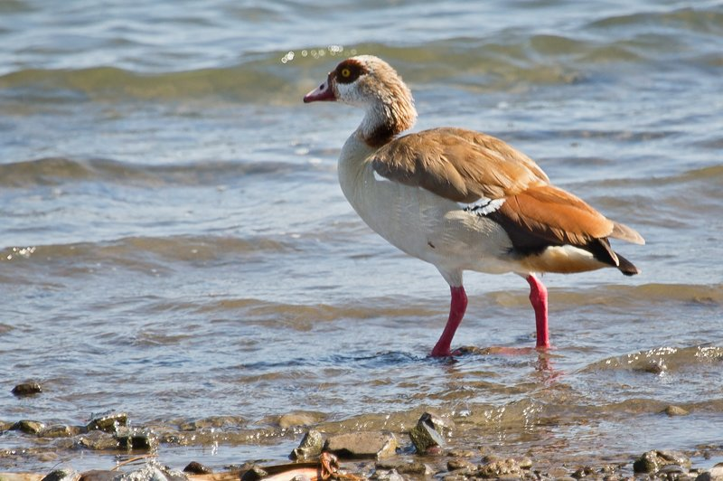 large_Egyptian_Goose_71.jpg