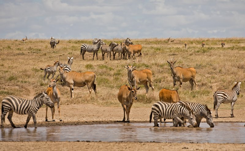 large_Eland_and_Zebra_2.jpg
