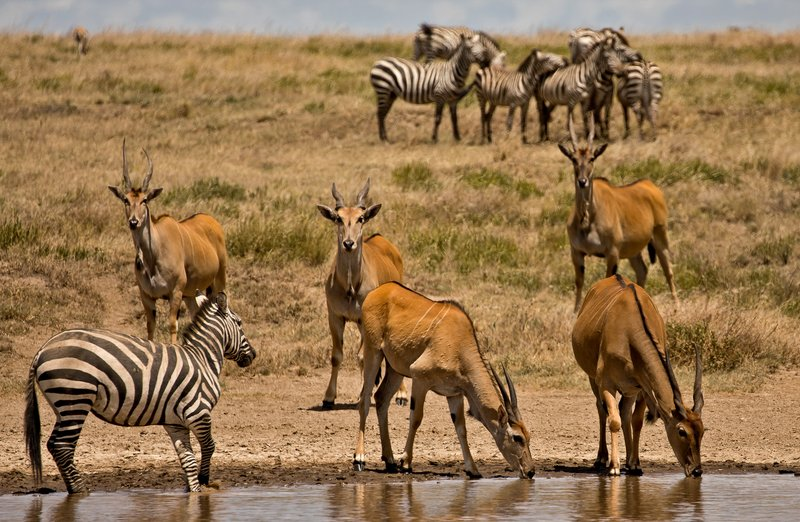 large_Eland_and_Zebra_4.jpg