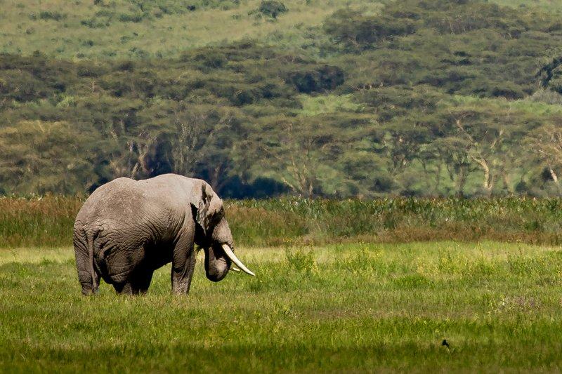 large_Elephant__Big_Tusked_31.jpg