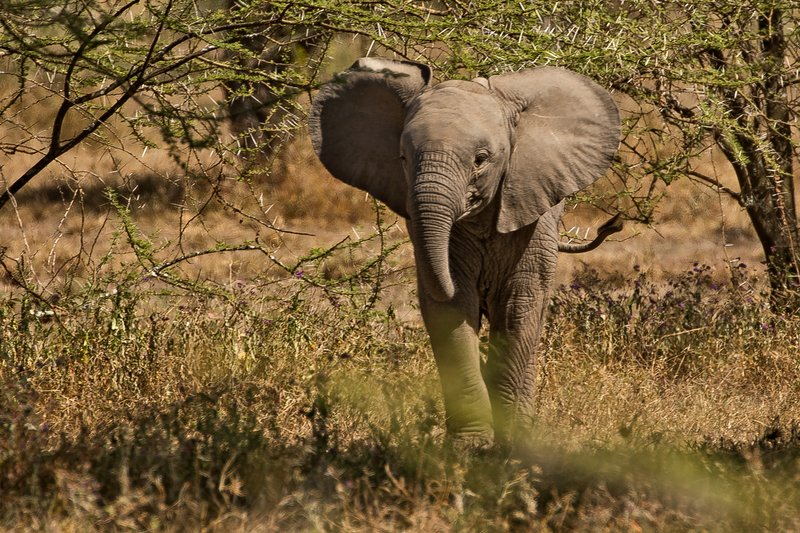 large_Elephants_14.jpg