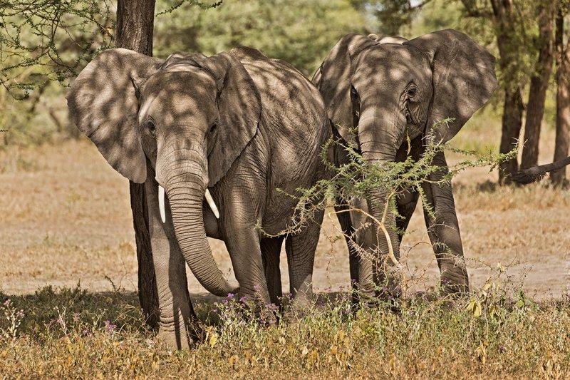 large_Elephants_23.jpg