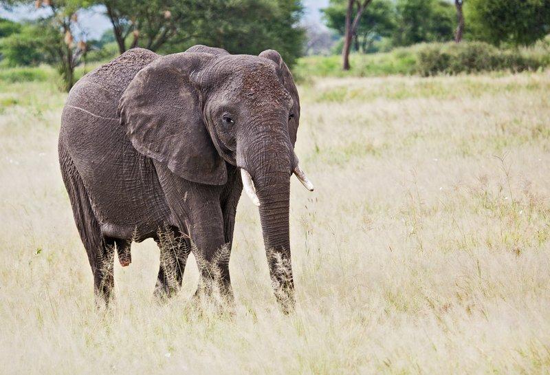 large_Elephants_5-12.jpg