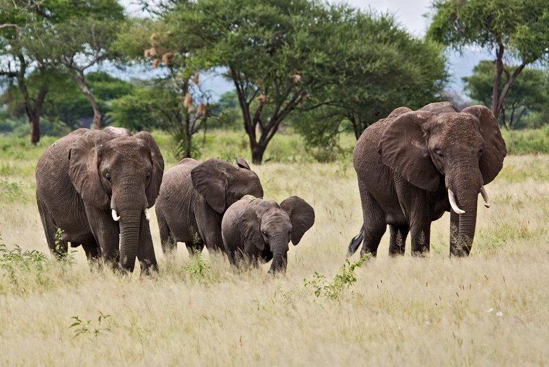 large_Elephants_5-4.jpg